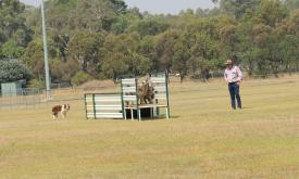 Moyston Sheepdog Trials